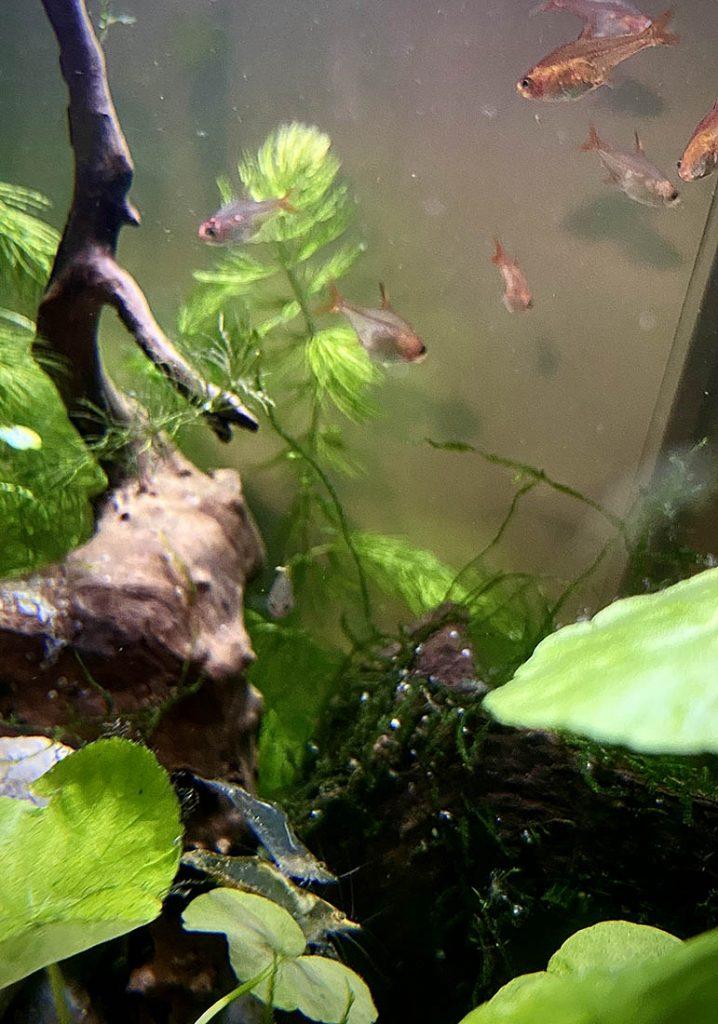 short nose algae shrimp and school of tetras